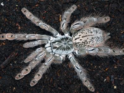 Молниеносный паук-птицеед - Heteroscodra maculata