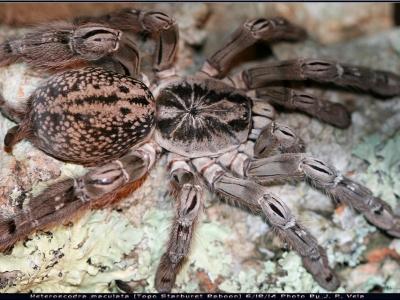 Подборка фото с пауком птицеедом Heteroscodra maculata.