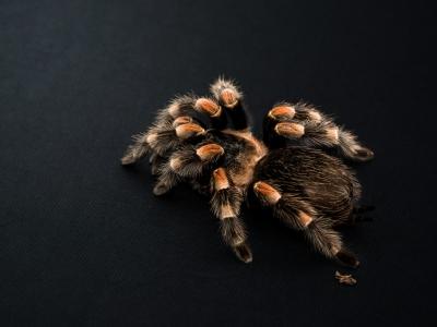 Подборка фото с пауком птицеедом Brachypelma smithi