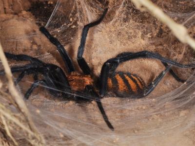 Фото с довольно таки редким пауком-птицеедом Linothele fallax