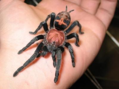 купить паука птицееда cyclosternum fasciatum L1