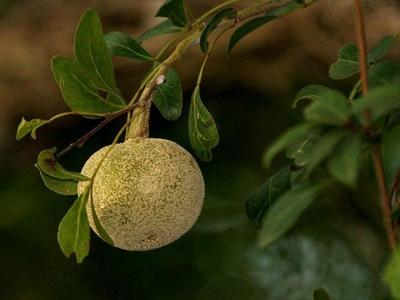 Цитрусовые фрукты, которые вряд ли встретятся на наших рынках