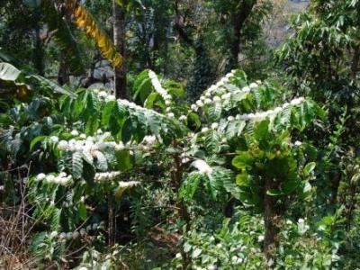 Как цветет всеми любимая Coffea Arabica