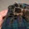 Подборка фото с пауком-птицеедом Lasiodora parahybana.