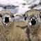 Необычные Валлийские овечки
